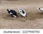 domestic fed domestic ducks ... | Shutterstock . vector #1227940753