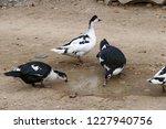 domestic fed domestic ducks ... | Shutterstock . vector #1227940756