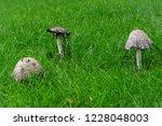 the shaggy ink cap  lawyer's... | Shutterstock . vector #1228048003