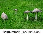 the shaggy ink cap  lawyer's... | Shutterstock . vector #1228048006