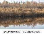 dry reed on the lake  reed...   Shutterstock . vector #1228068403