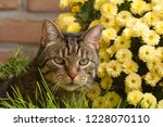 Stock photo a domestic cat sits in front of a cup of cat grass 1228070110