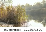 dry reed on the lake  reed...   Shutterstock . vector #1228071520
