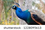 portrait of a male peacock... | Shutterstock . vector #1228095613