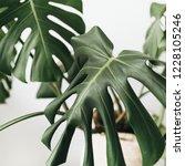 tropical plant monstera in... | Shutterstock . vector #1228105246