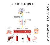 stress response. activation of... | Shutterstock .eps vector #1228168219