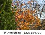 kaki tree with orange persimmon ... | Shutterstock . vector #1228184770