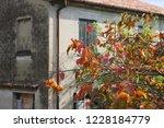 kaki tree with orange persimmon ... | Shutterstock . vector #1228184779