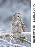 Stock photo beautiful ural owl in snow winter scene with ural owl unique owl portrait winter scenery with 1228190740