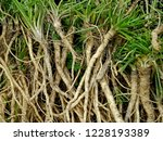roots of parsley  seedlings... | Shutterstock . vector #1228193389