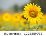 close up sunflower | Shutterstock . vector #1228309033