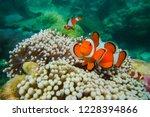 nemo clown fish in the anemone... | Shutterstock . vector #1228394866