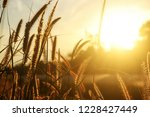 flower grass waver in the wind...   Shutterstock . vector #1228427449
