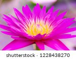 lotus solitary in the pond   Shutterstock . vector #1228438270