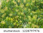 mango flower on tree. tropical... | Shutterstock . vector #1228797976