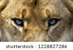 Iioness Cropped Face Blue Eyes