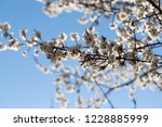 blossoming tree with white... | Shutterstock . vector #1228885999