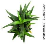 aloe vera plant isolated on... | Shutterstock . vector #122894620