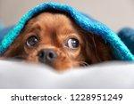 cute dog sleepeing under the...   Shutterstock . vector #1228951249