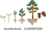 pine tree life cycle. stages of ... | Shutterstock .eps vector #1228985500