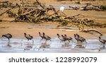 Americana Coots March Along A...
