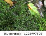 cinclidotus aquaticus  moss...   Shutterstock . vector #1228997503