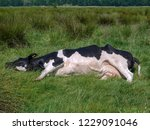 black and white cow  stretched... | Shutterstock . vector #1229091046