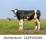 black and white cow  heifer ...   Shutterstock . vector #1229102260