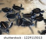 newly hatched baby turtles... | Shutterstock . vector #1229115013