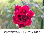fuchsia rose isolated in the... | Shutterstock . vector #1229171356