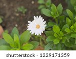 white african daisy without two ... | Shutterstock . vector #1229171359