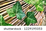 detail of a poison ivy branch... | Shutterstock . vector #1229195353