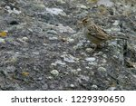 white crowned sparrow ...   Shutterstock . vector #1229390650