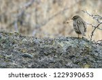white crowned sparrow ...   Shutterstock . vector #1229390653