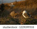 western gull  adult and...   Shutterstock . vector #1229399533