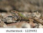 corse   lizard | Shutterstock . vector #1229492