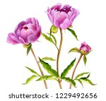 watercolor drawing pink peony... | Shutterstock . vector #1229492656