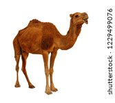 camel isolated on the white... | Shutterstock . vector #1229499076