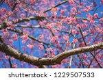 cheery blossom spring background | Shutterstock . vector #1229507533