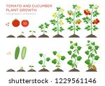 tomato and cucumber plants... | Shutterstock .eps vector #1229561146