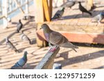 the gathering of pigeons and...   Shutterstock . vector #1229571259