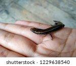 little lizard in the hand.  ... | Shutterstock . vector #1229638540