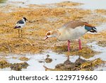 Egyptian Goose With Teal...