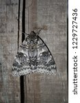 the blue underwing  also known... | Shutterstock . vector #1229727436
