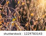 bird tit on the autumn birch... | Shutterstock . vector #1229783143
