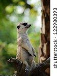 meerkat | Shutterstock . vector #122980393