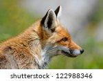 fox portrait   Shutterstock . vector #122988346