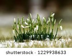 beautiful snowdrop galanthus in ...   Shutterstock . vector #1229938633