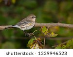 a non breeding yellow rumped ... | Shutterstock . vector #1229946523