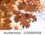 autumn oak leaves.              ... | Shutterstock . vector #1230009406